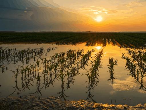 Produção de milho afetada pelo alto volume de chuvas.